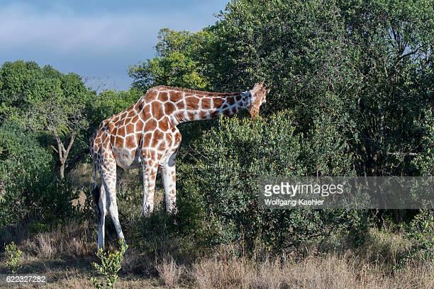 A reticulated giraffe is feeding on a tree in the Ol Pejeta Conservancy in Kenya