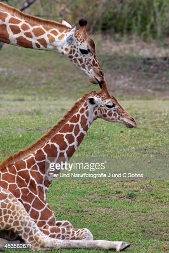 Reticulated giraffe stock photo getty images for Giraffe childcare fees
