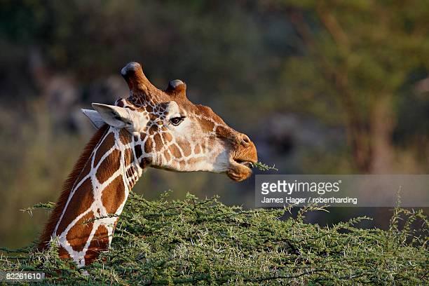 Reticulated giraffe (Giraffa camelopardalis reticulata), Samburu National Reserve, Kenya, East Africa, Africa