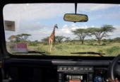 Reticulated giraffe walks through grassland on Dec 06 2007 in the Samburu National Reserve Kenya