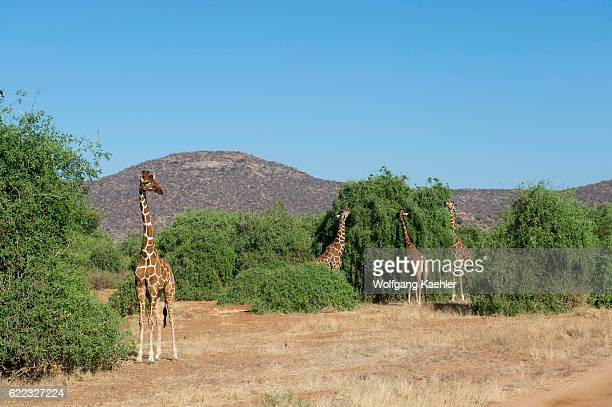 Reticulated giraffes are browsing on a tree in Samburu National Reserve in Kenya