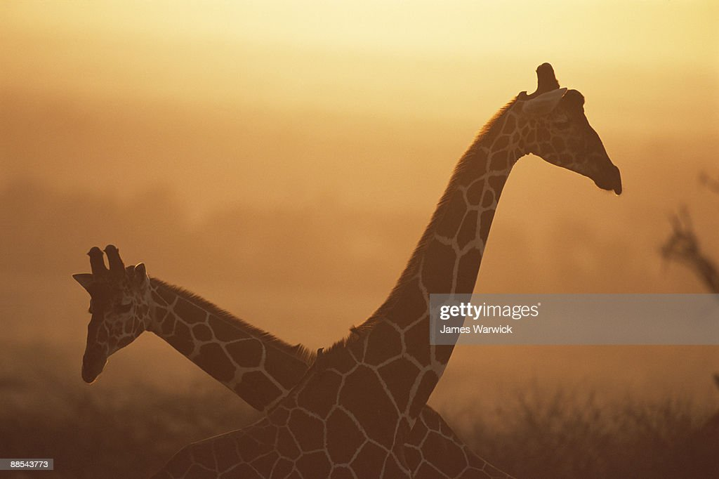 Reticulated giraffes at sunrise : Stock Photo