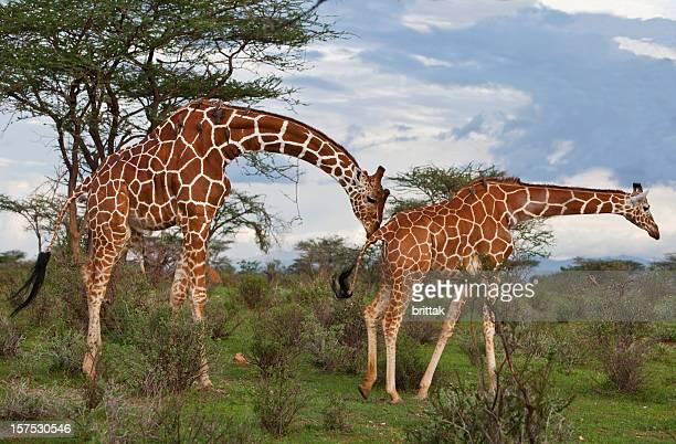 Reticulated giraffes courting in African landscape. Samburu Kenya.
