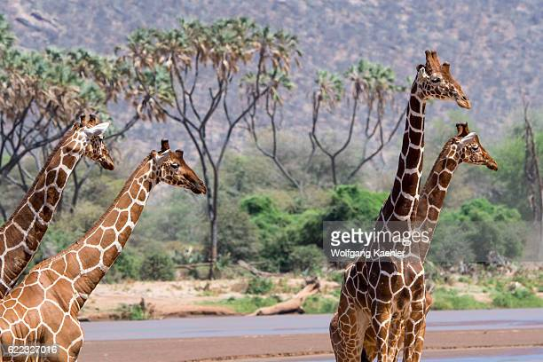 Reticulated giraffes in the Samburu National Reserve in Kenya are at the Ewaso Ngiro River to drink