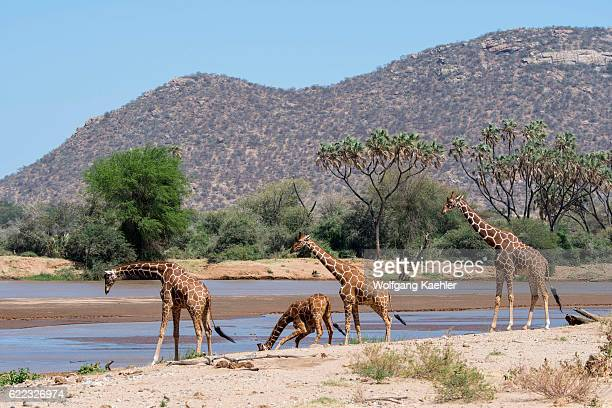 Reticulated giraffes in the Samburu National Reserve in Kenya are drinking water from the Ewaso Ngiro River