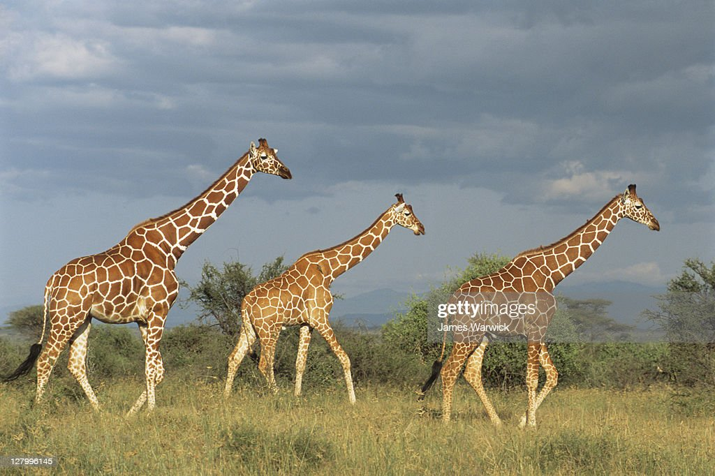 Reticulated giraffes on the move : Stock Photo