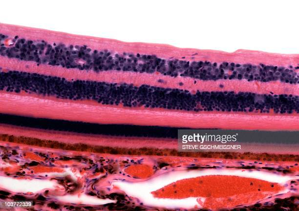 Retina, light micrograph
