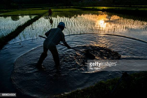 RICEFIELDS BONGKASA BALI INDONESIA A retired civil servant in Bongkasa tends to his ricefields flattening out what was the original seed bed in order...