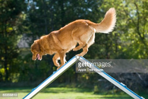 Retriever at peak of A-frame : Stock Photo