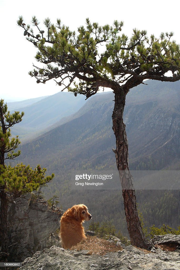 Retriever : Stock Photo