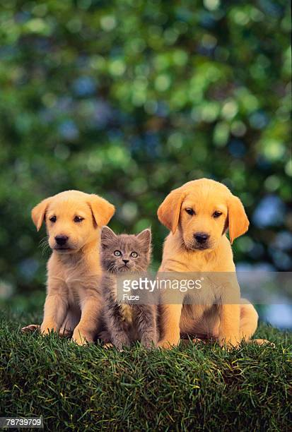 Retriever Puppies and Kitten
