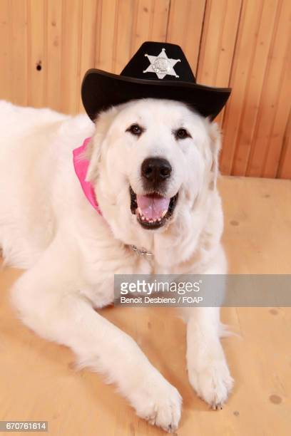 Retriever with wearing police hat