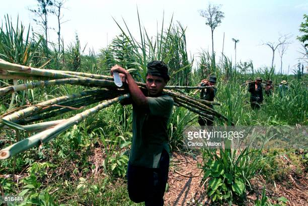 Revolutionary Armed Forces of Colombia FARC guerrillas transport sugar cane to a factory to process the cane into Panela or pure sugar February 23...