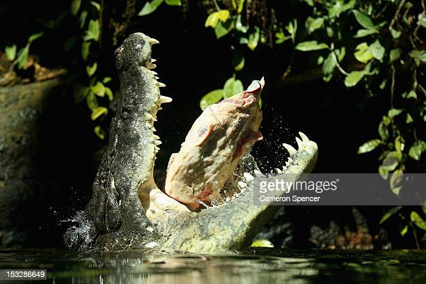 Rex one of the world's largest crocodiles eats beef ribs at WILD LIFE Sydney Zoo on October 3 2012 in Sydney Australia The 700kg crocodile ate his...