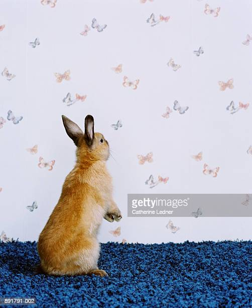 Rex rabbit (Leporidae) in studio, butterfly wallpaper in background