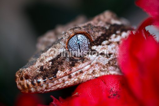 Rhacodactylus Auriculatus Gecko Gárgola Foto de stock | Thinkstock