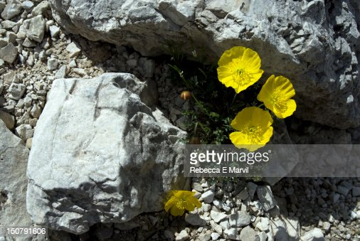 Rhaetian poppies in Dolomites, Italy : Stock Photo