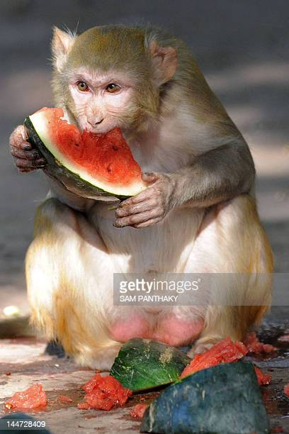 A rhesus macaque eats watermelon provided by zookeepers to help the monkeys deal with hot summer temperatures at the Kamla Nehru Zoological Gardens...