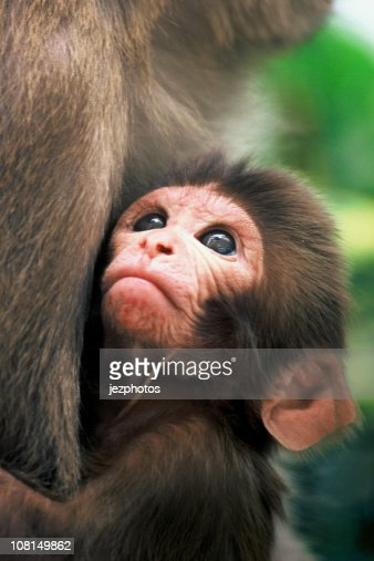 Rhesus Macaque Infant Gazing in mothers arms