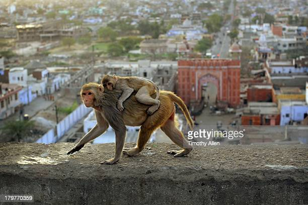 Rhesus Macaque monkey mother & child in Jaipur