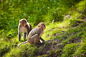 Rhesus macaques in forest in Shimla, Himachal Pradesh, India
