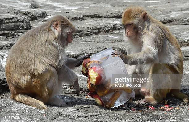 Rhesus macaques roll a block of ice containing their favorite fruits at the Tobu Zoo in Miyashiro Saitama prefecture north of Tokyo on August 22 2015...