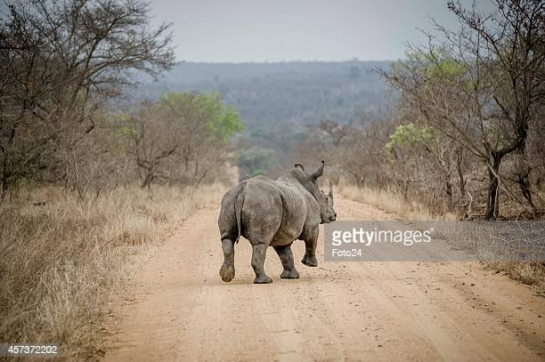 A rhino after it is sedated on October 16 2014 in the Kruger National Park South Africa SANParks staff members moved rhinos from the Kruger National...