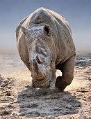 an approaching white rhino