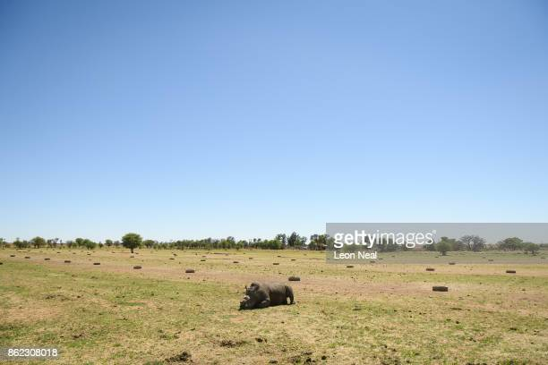 A rhino begins to recover from the effects of a tranquiliser dart after having it's horn trimmed at the ranch of rhino breeder John Hume on October...