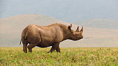 Rhino black savanna wildlife safari animals Ngorongoro Tanzania Africa horn
