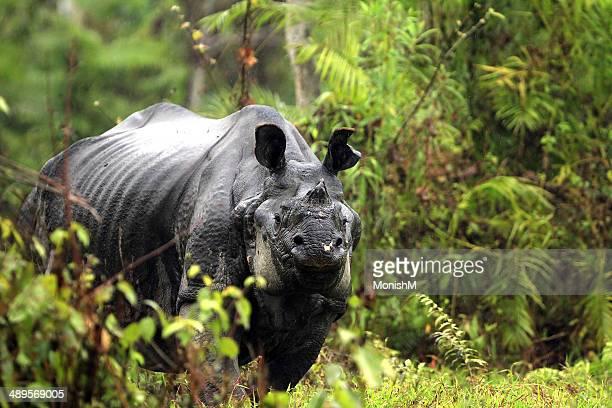 Rhino in rain fury...