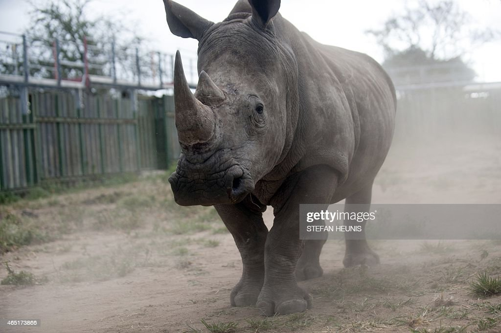 A rhino looks through the bars of the holding pens at the Kruger National Park on March 2 2015 The Kruger National Park has the largest population of...