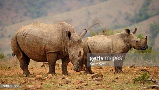 rhino mother and calf : Stock Photo