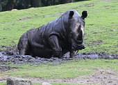 Rhino mud bathing