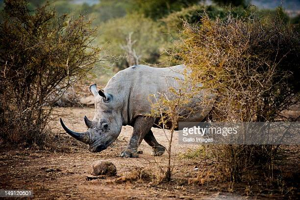 A Rhino walks in the Pilanesberg nature reserve on July 22 2012 in the North West Province South Africa The nature reserve will be making use of...