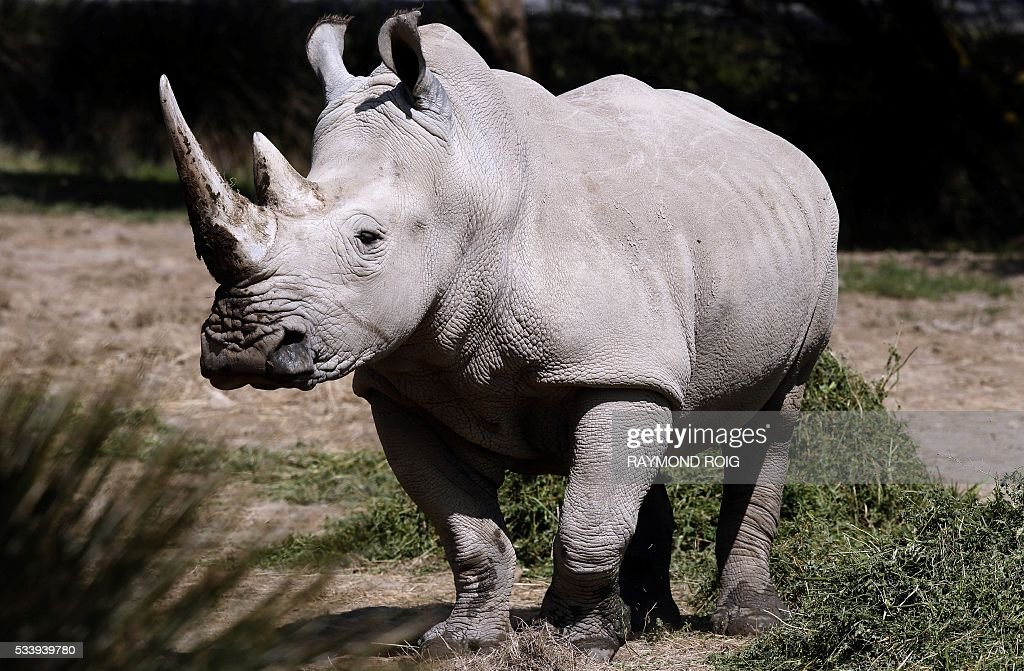 A Rhino wanders about at the African Reserve (Réserve Africaine ) of Sigean, southern France on May 24, 2016. / AFP / RAYMOND