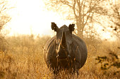 Rhino White African lowveld wildlife safari game drive Kruger savanna nature