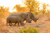 Rhino white family Kruger Africa wildlife savanna lowveld safari nature