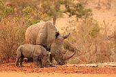 Rhinoceros African wildlife safari animals wilderness savanna white mother baby