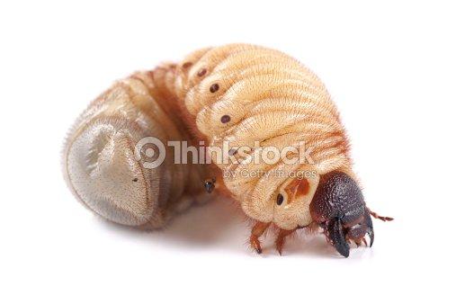 rhinoceros beetle larva on white background stock photo thinkstock