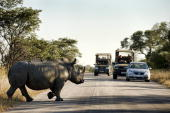 A rhinoceros crosses a road inside Kruger National Park some 60 km from Nelspruit in South Africa on June 13 2010 AFP PHOTO / Martin BERNETTI