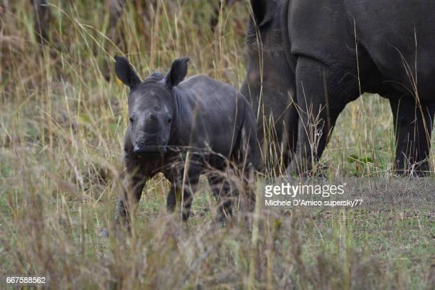 Rhinoceros female with newborn in the savannah