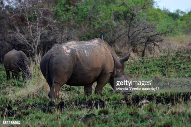 Rhinoceros female with young daughter in the savannah