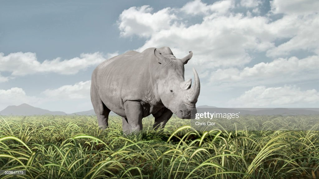 Rhinoceros grazing in rural field
