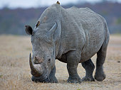 Rhinoceros grazing on grass