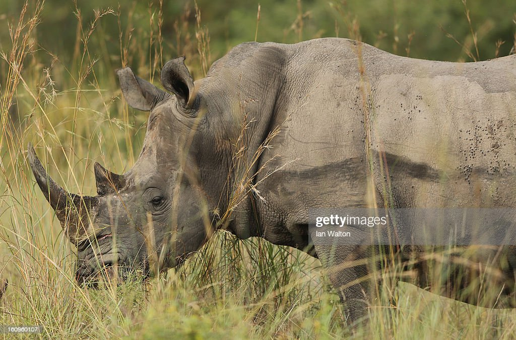 A rhinoceros is pictured in Kruger National Park on February 6, 2013 in Skukuza, South Africa.