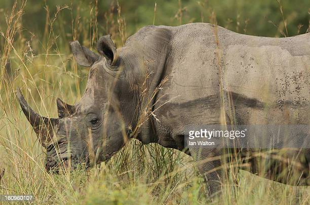 A rhinoceros is pictured in Kruger National Park on February 6 2013 in Skukuza South Africa
