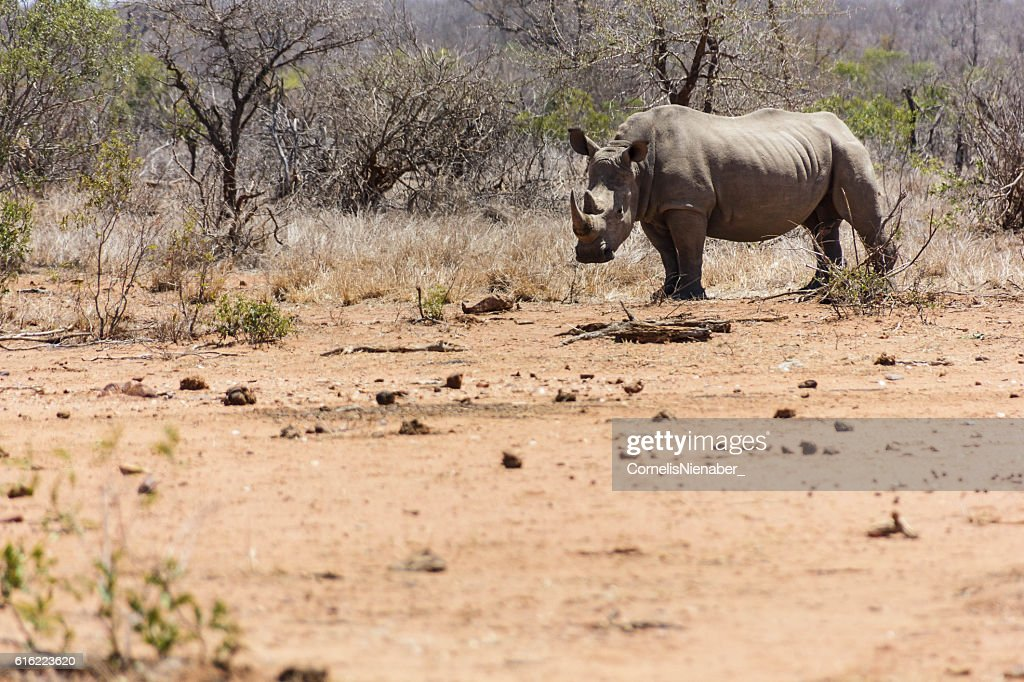 Rhinoceros : Stock Photo