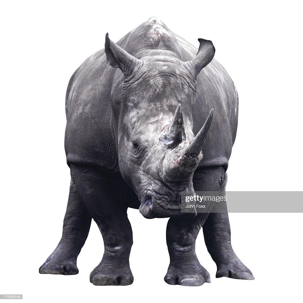 rhinoceros : Stock Photo