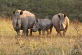 Rhinoceros Shamwari Lobengula Private Safari Lodge Eastern Cape South Africa Africa
